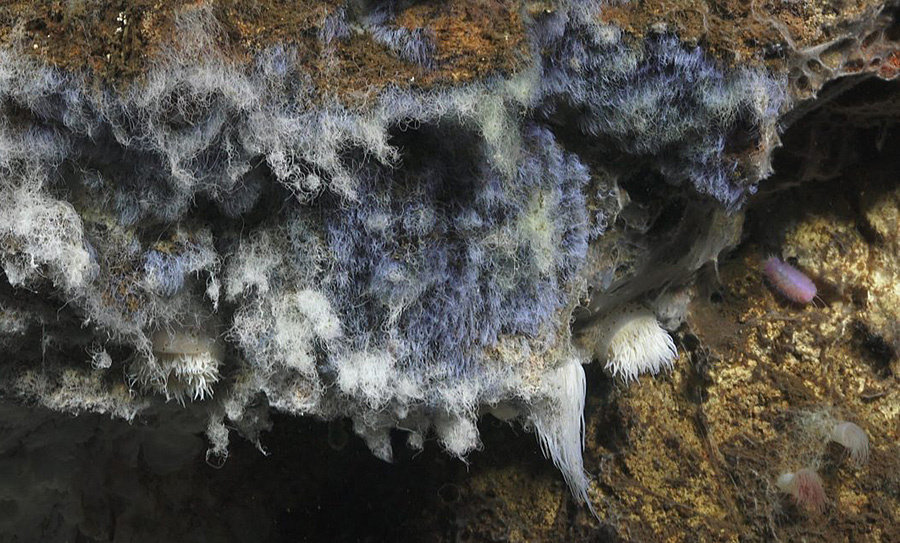 Microbial Mat Scaleworm