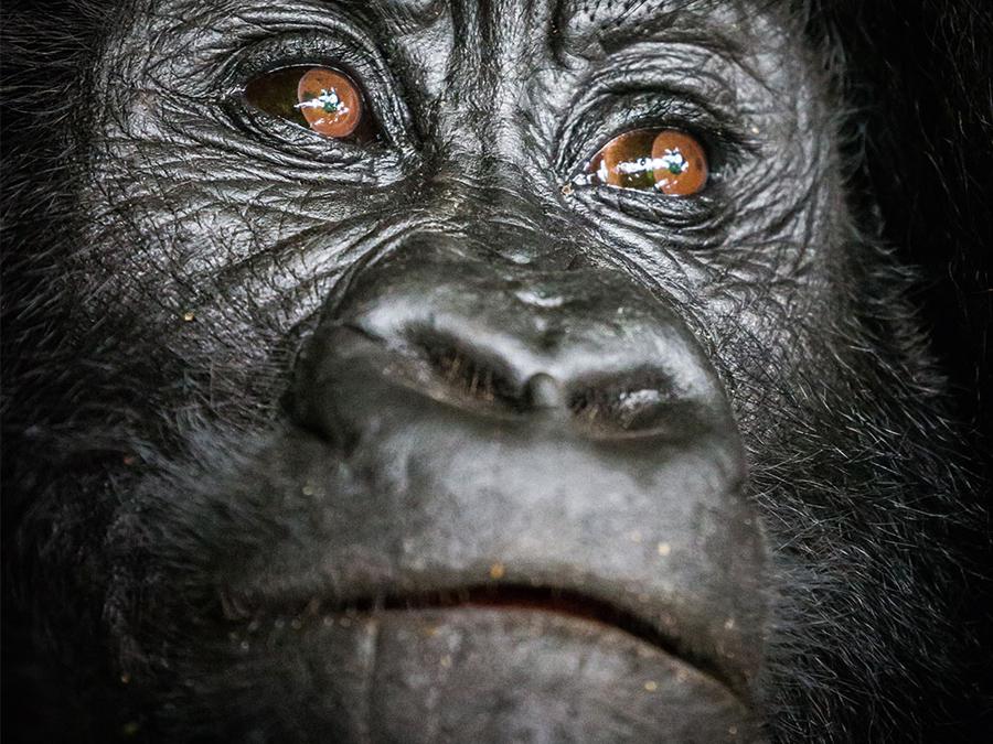 Gorilla / © Scott Ramsay